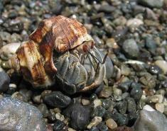 hermit_crab2
