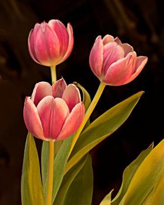 109428-336x420-Tulips